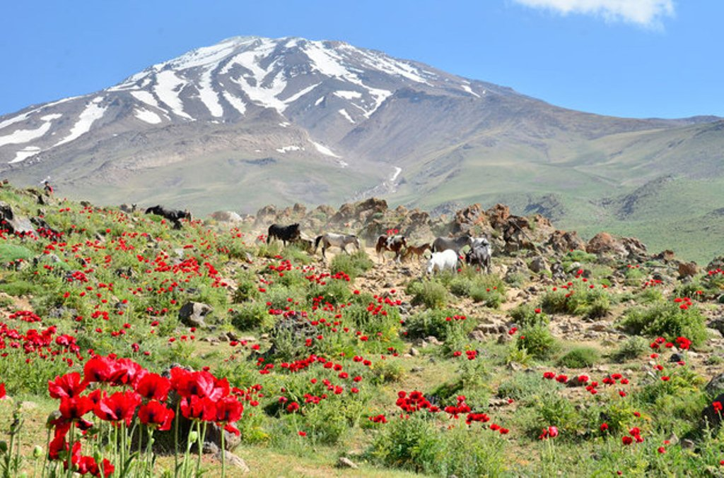 Anemone flowers in Damavand Southern Route