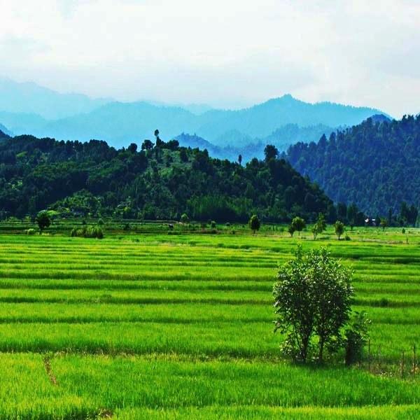 Iran Northern Rice farms